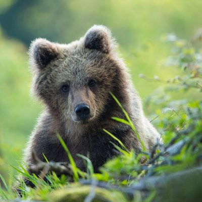 Slowenien, Bären, Foto: Christine Sonvilla