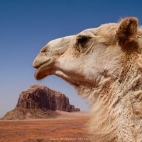 Jordanien, Wadi Rum, Kamel (Foto: Rainer Skrovny / ARR Reisen)