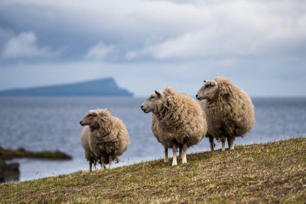 Shetland, Schafe auf der Insel Moussa (Foto: Rainer Skrovny / ARR Reisen)