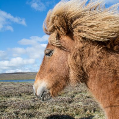 Shetland, Shetland-Pony (Foto: Rainer Skrovny, ARR Reisen)