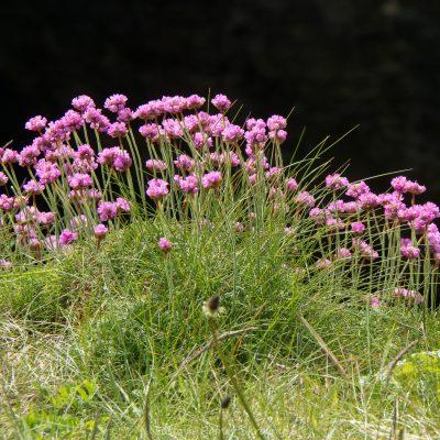 Gewöhnliche Grasnelke (Foto: Rainer Skrovny, ARR Reisen)