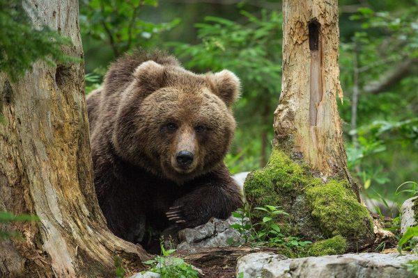 Slowenien, Bären, Foto: Marc Graf