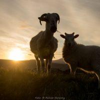 Irland, Schafe (Foto: Rainer Skrovny, ARR Reisen)