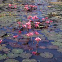 Kambodscha, Angkor, Teich mit Seerosen (Foto: Rainer Skrovny, ARR Reisen)