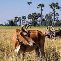 Kambodscha, Kuh auf Reisefeld (Foto: Rainer Skrovny, ARR Reisen)