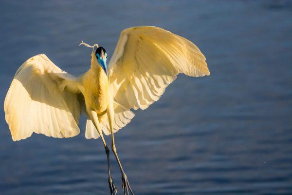 Brasilien, Pantanal, Kappenreiher (Foto: Rainer Skrovny, ARR-Reisen)