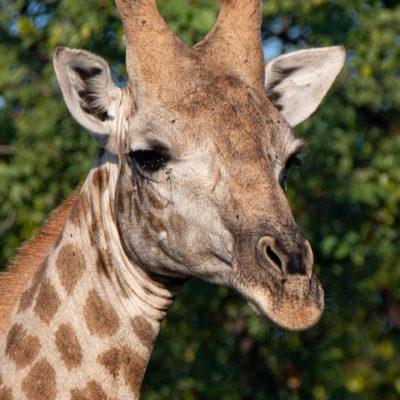 Giraffe (Foto: Rainer Skrovny, ARR Reisen)