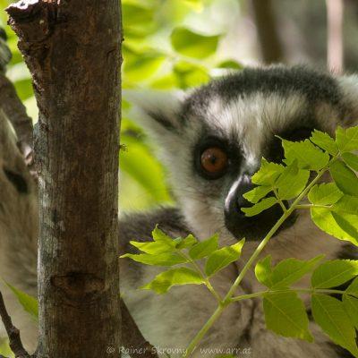 Lemur, Katta (Foto: Rainer Skrovny, ARR Reisen)