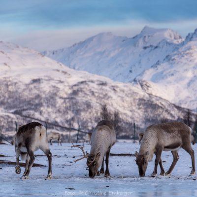 Norwegen, Troms og Finnmark, Rentiere (Foto: Christine Emberger, ARR Reisen)