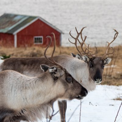 Norwegen, Insel Senja, Rentier (Foto: Rainer Skrovny, ARR Reisen)