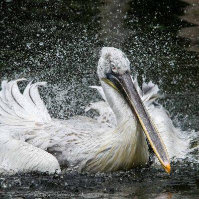 Pelikan (Foto: Rainer Skrovny, ARR Reisen)