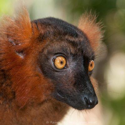 Lemur, Roter Vari (Foto: Rainer Skrovny, ARR Reisen)