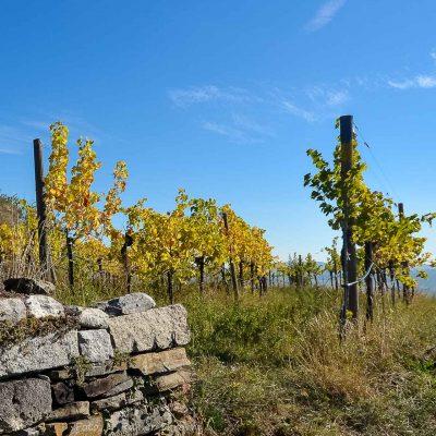 Wachau, Weingarten im Herbst