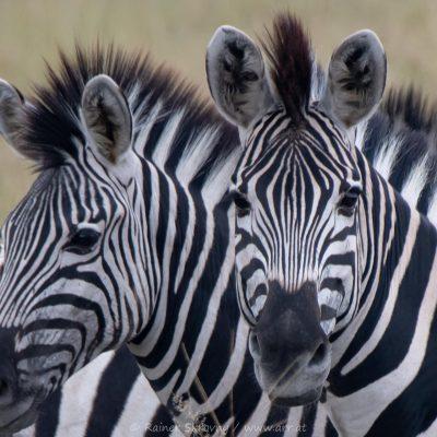 Zebras (Foto: Rainer Skrovny, ARR Reisen)