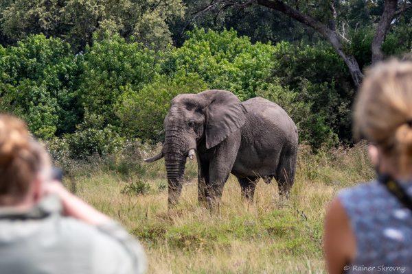 Botswana, Elefant (Foto: Rainer Skrovny, ARR Reisen)