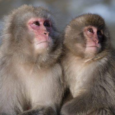 JAPAN / Honshu / Nagano / Shibu-onsen / Jigokudani Monkey Park / Japanese Macaque (Macaca fuscata)