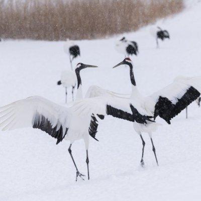 JAPAN / Hokkaido / Kushiro / Kushiro Shitsugen Nationalpark / Red-crowned crane (Grus japonensis) /