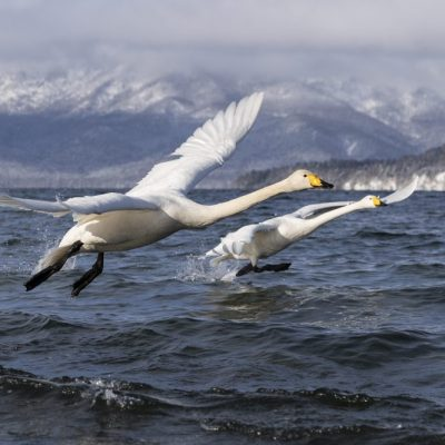 JAPAN / Hokkaido / Akan Mashu National Park / Lake Kussharo / Whooper swan (Cygnus cygnus)
