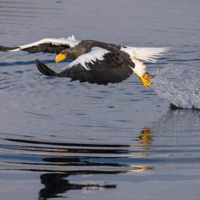 JAPAN / Hokkaido / Shiretoko Peninsula / Shiretoko National Park / Rausu / Stellers sea eagle (Haliaeetus pelagicus)