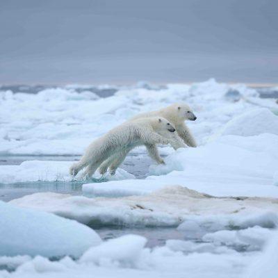 Franz-Josef-Land, Eisbären