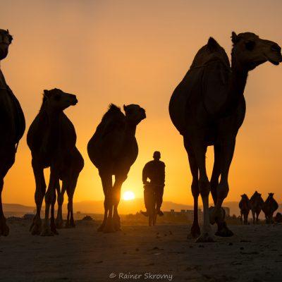 Oman, Kamele bei Sonnenuntergang (Foto: Rainer Skrovny, ARR Reisen)