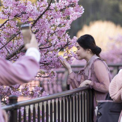 Japan / Honshu / Shizuoka / Kawazu / Kawazu Sakura / Kawazu Cherry Blossom along Kawazu River