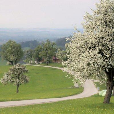 Mostbrinenblüte_StGeorgen_12