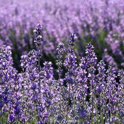 Waldviertel, Lavendel (Foto: Rainer Skrovny, ARR Reisen)