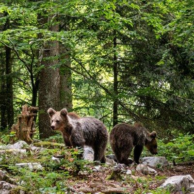 Slowenien, Braunbär (Foto: Rainer Skrovny, ARR Reisen)